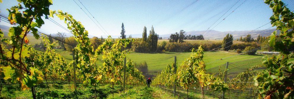new zealand riesling styles wine regions scaled 992x334 1