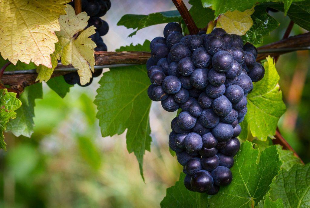 Ata Rangi PN grape 1 1